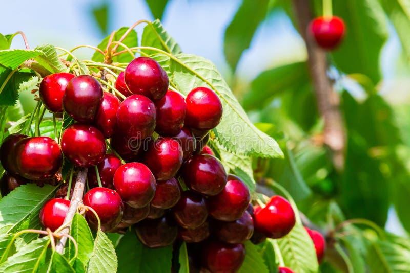 在果树的分支的樱桃在晴朗的庭院里 束在分支的新鲜的樱桃在夏季 库存照片