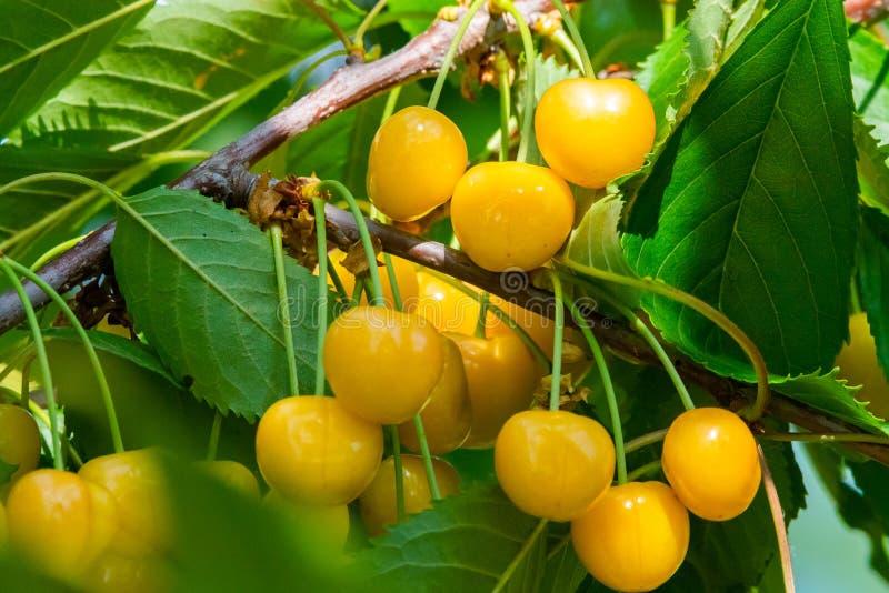 在果树的分支的樱桃在晴朗的庭院里 束在分支的新鲜的樱桃在夏季 库存图片