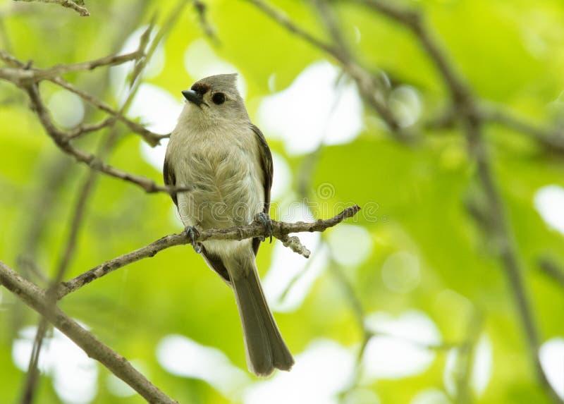 在枝杈栖息的装缨球北美山雀 库存照片