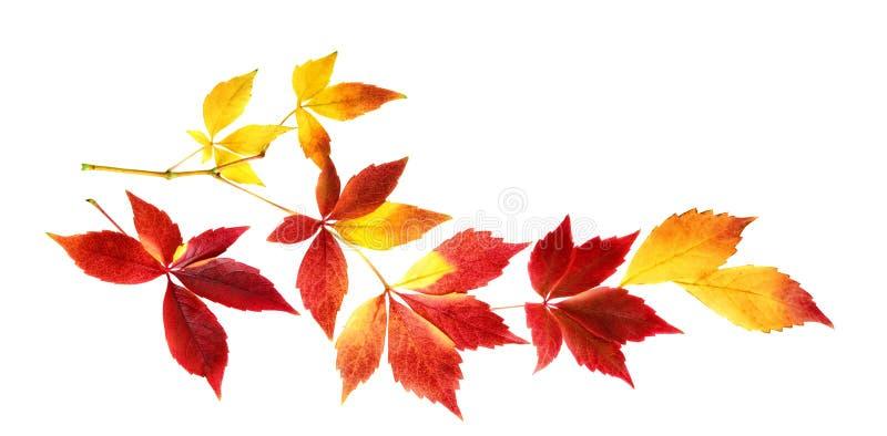 在枝杈的好的秋叶,被隔绝 免版税库存图片