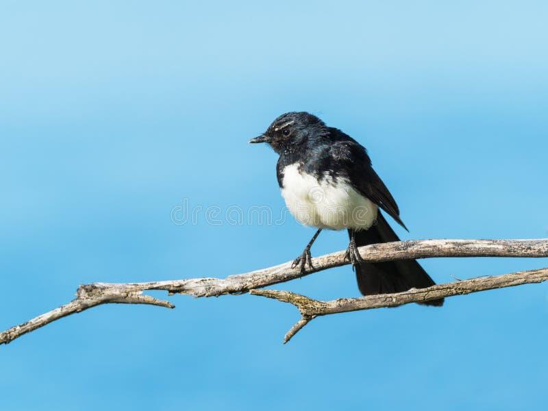 在枝杈的威利令科之鸟 库存照片