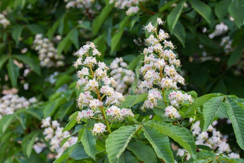 在枝杈的欧洲七叶树春天白花 库存图片