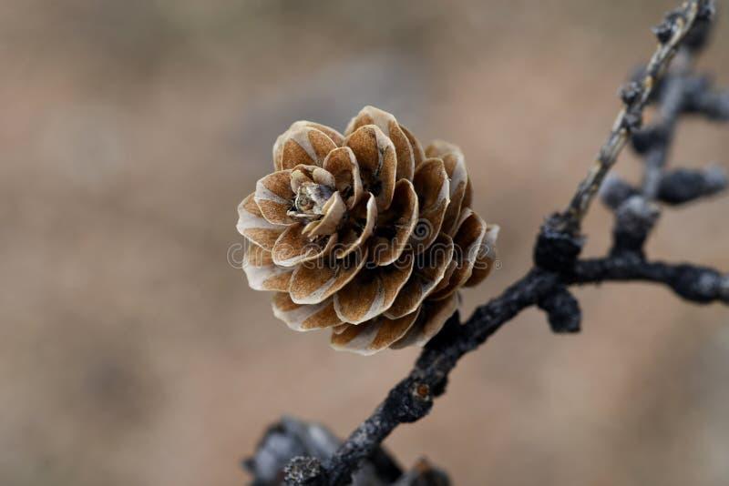 在枝杈的落叶松属锥体 免版税库存照片