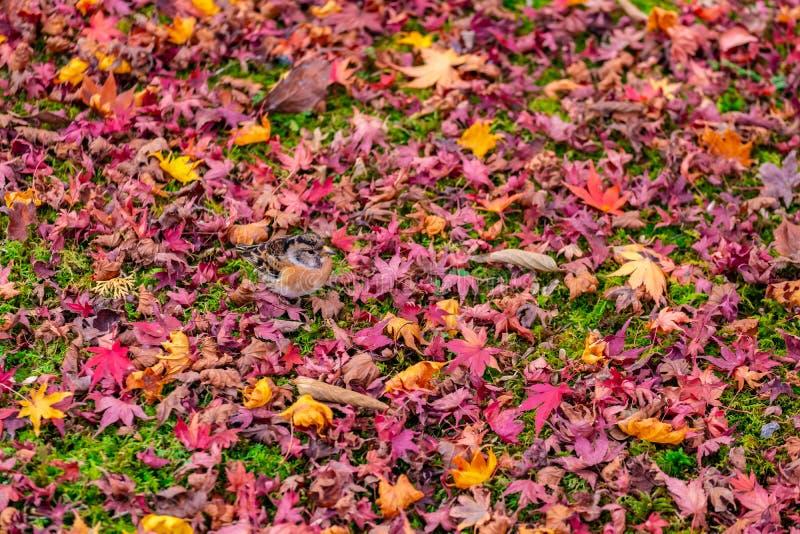 在枫叶中间的愉快的鸟戏剧在京都,日本 免版税库存照片