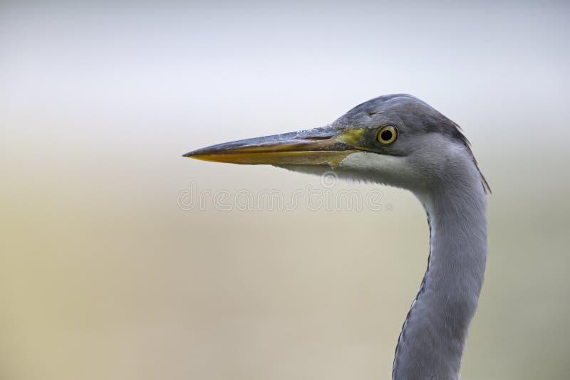 在柏林德国栖息的画象一成人灰色苍鹭Ardea灰质  免版税库存图片