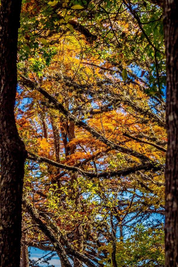 在柏树的美好的秋天颜色在得克萨斯 免版税库存图片