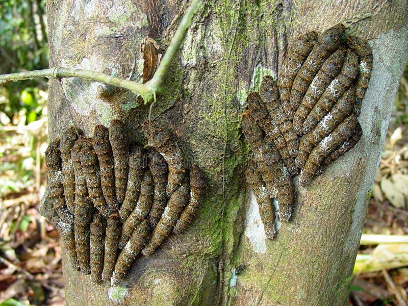 在柑橘树树干的红宝石被察觉的swallowtail幼虫  亚马逊,巴西 免版税库存图片