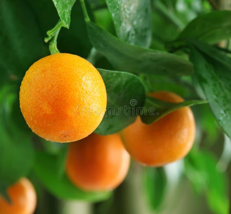 在柑橘树的蜜桔。 库存图片