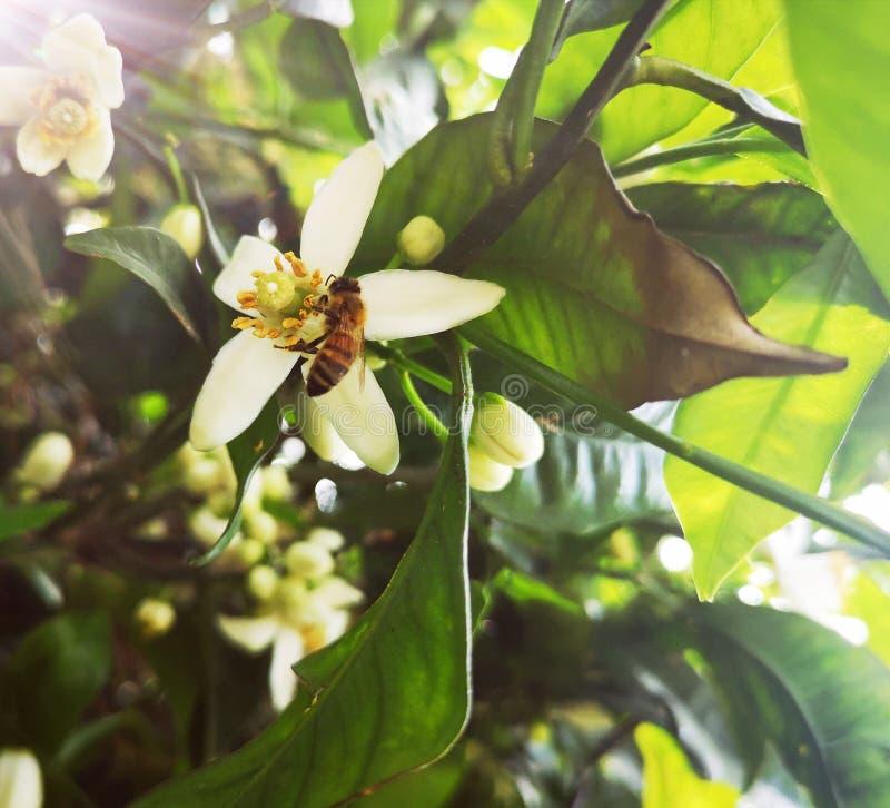 在柑橘花的蜜蜂饲养 免版税库存照片