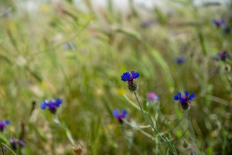 在柔光中的新鲜的美丽的紫罗兰色和紫色矮小的野花在阳光天弄脏了绿色叶子草地背景 免版税库存图片