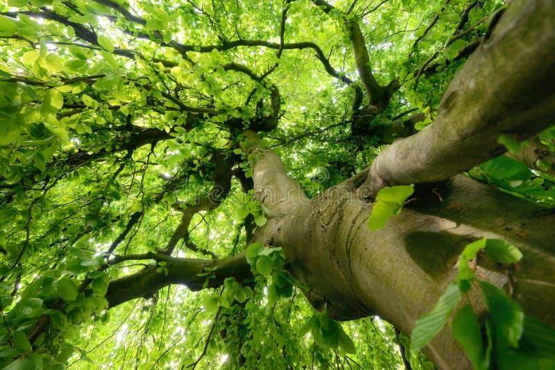 在柔光的庄严树 图库摄影
