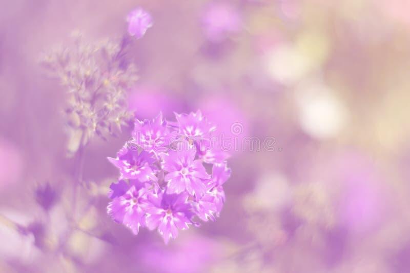 在柔和的背景的桃红色庭院康乃馨 免版税库存照片