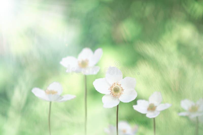 在柔和的背景的美丽的银莲花属花 有选择性的软的焦点 免版税图库摄影