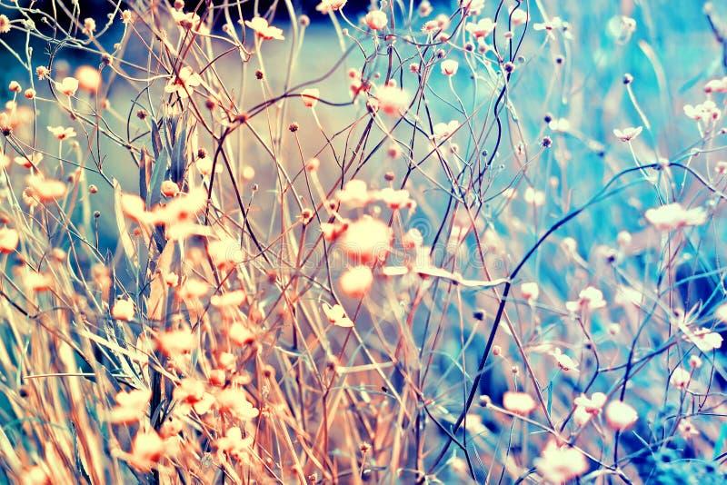 在柔和的软的蓝色和桃红色背景户外特写镜头宏指令定调子的小白花 春天夏天边界模板 库存图片