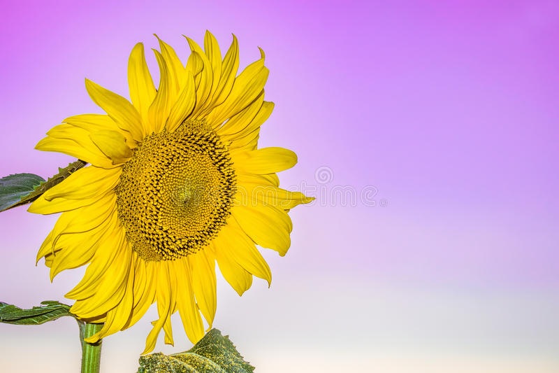 在柔和的紫罗兰色背景的开花的花向日葵特写镜头 图库摄影