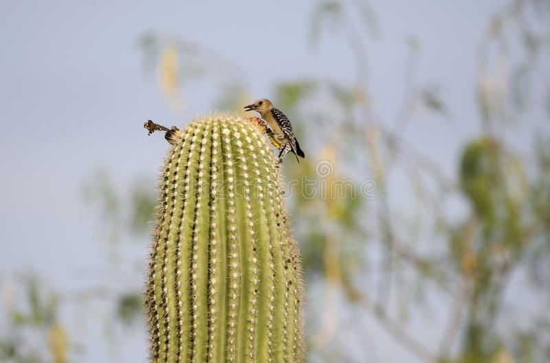 在柱仙人掌仙人掌,图森亚利桑那沙漠的吉拉啄木鸟 库存照片