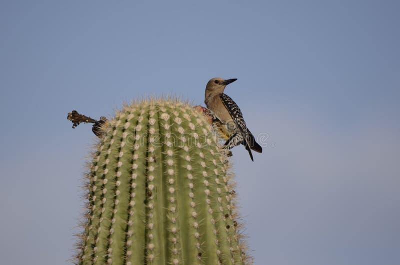 在柱仙人掌仙人掌,图森亚利桑那沙漠的吉拉啄木鸟 免版税库存照片