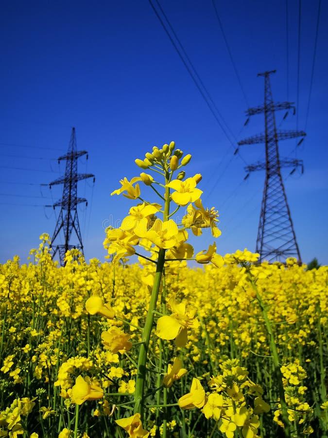 在柱子背景的油菜籽花与电流的 库存图片