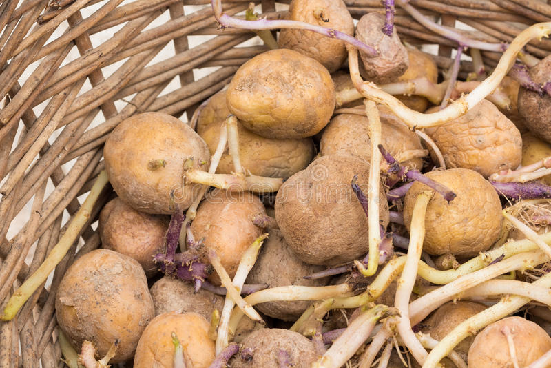 在柳条筐的发芽的土豆 免版税库存图片