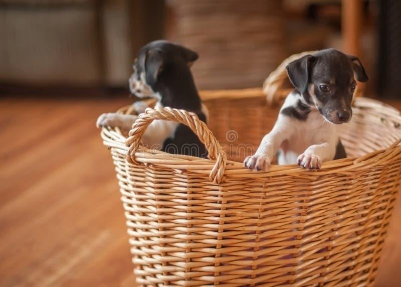 在柳条筐的小狗 库存图片