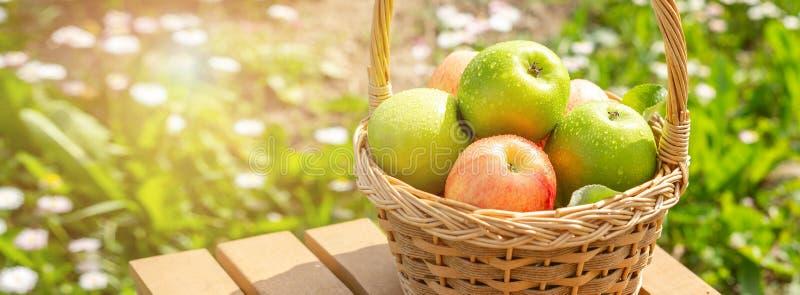 在柳条筐的绿色和红色苹果在木在庭院收割期Horisontal横幅的桌绿草 免版税库存图片