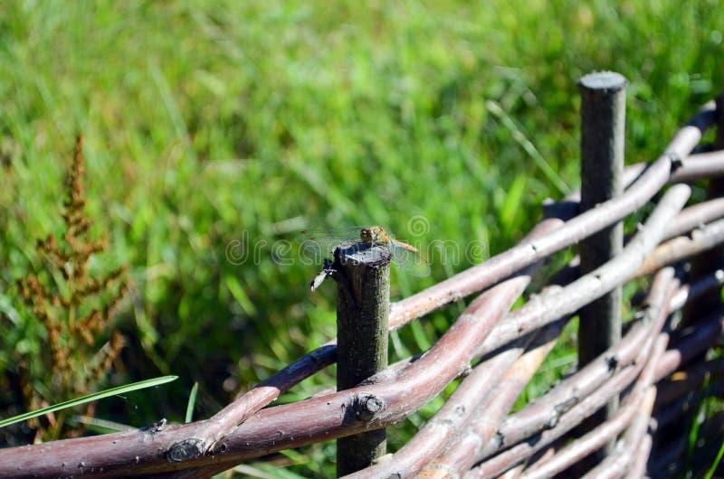 在柳条篱芭特写镜头的蜻蜓选址 图库摄影