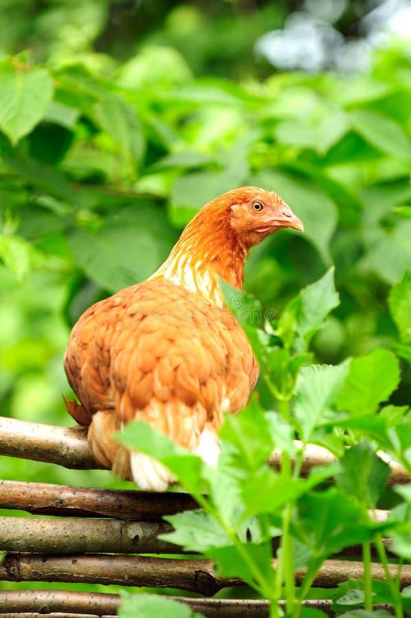 在柳条范围的红色鸡 免版税库存图片