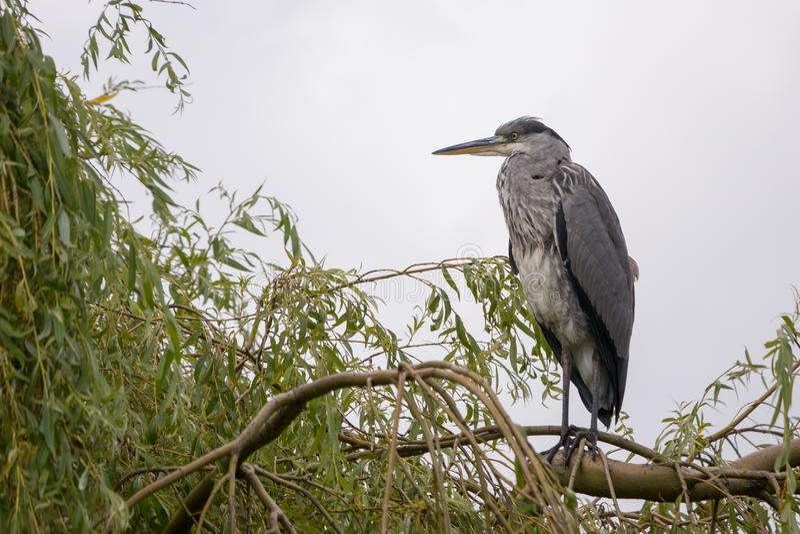 在柳树的一个分支栖息的成人灰色苍鹭/Ardea灰质 库存照片