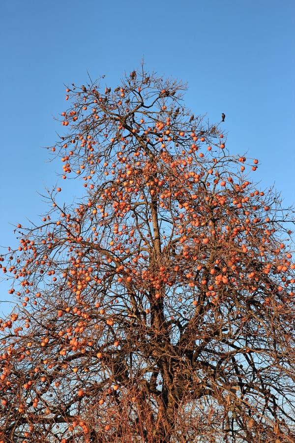 在柿子的欧洲椋鸟 库存图片