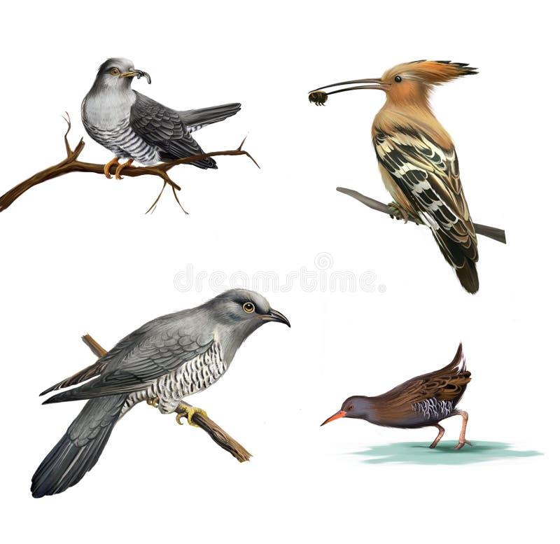 在树、戴胜(Upupa epops)和水禽的杜鹃,隔绝在白色背景。 库存例证
