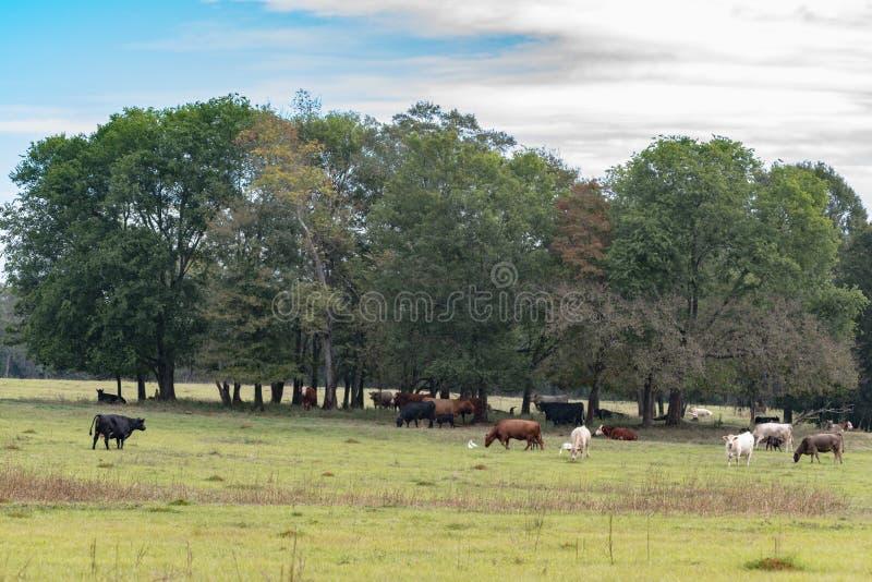 在树下树丛的牛牧群  库存照片