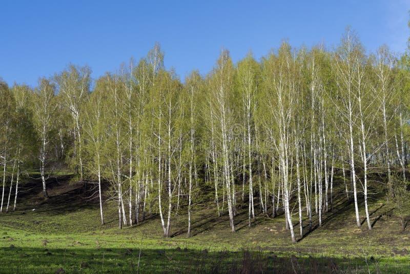 在树丛树的年轻叶子 库存图片
