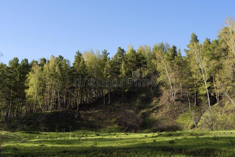 在树丛树的年轻叶子 免版税库存照片