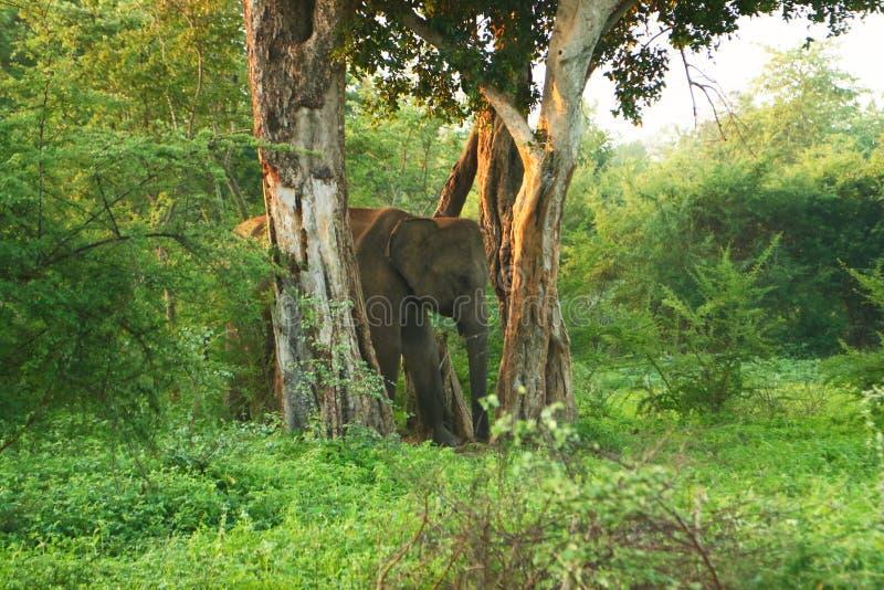 在树中的大象在斯里兰卡的国家公园 免版税库存照片