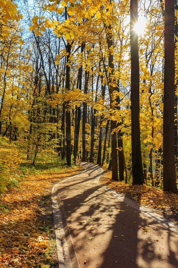 在树中的旅游胡同与黄色叶子在公园晴朗的秋天天 库存图片