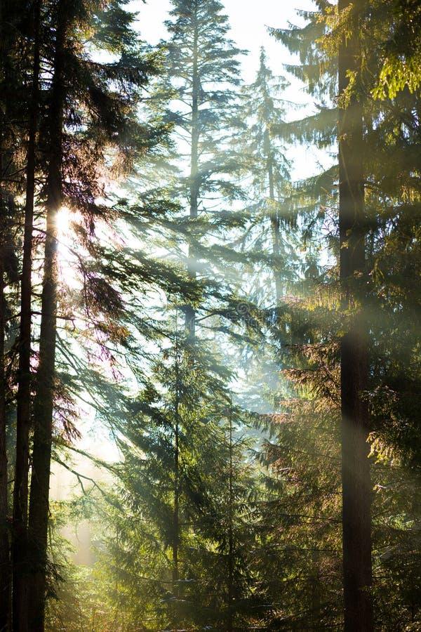 在树之间的金黄太阳 库存照片