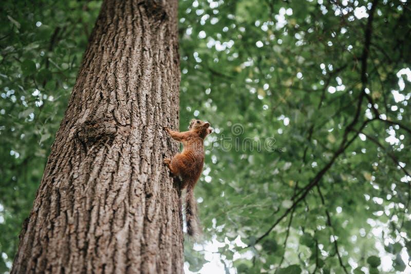 在树关闭的小的灰鼠在一好日子 免版税图库摄影