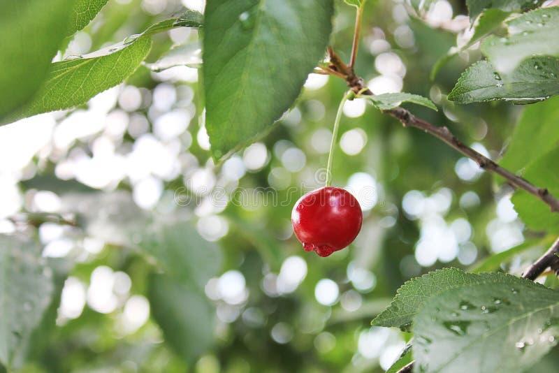 在树关闭的樱桃 免版税库存照片