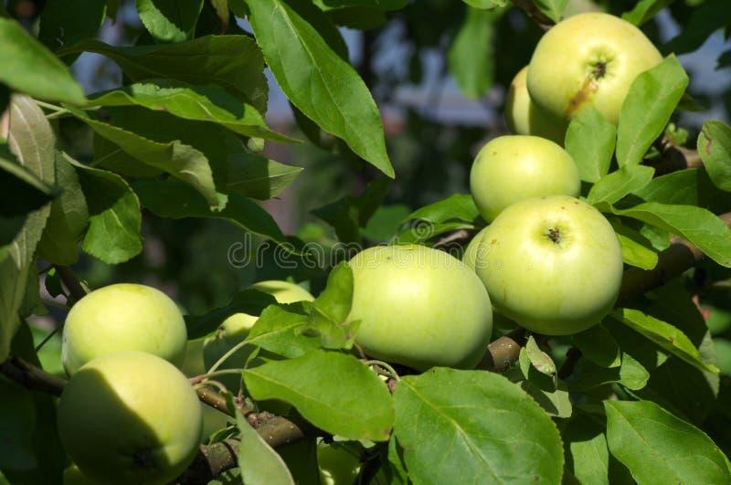 在树关闭的苹果 免版税库存图片
