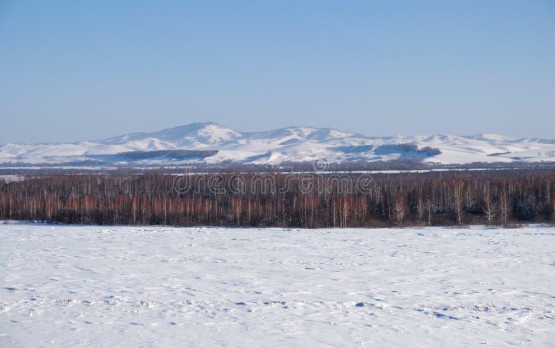 在树冰下的桦树在雪原在冬天晒干 免版税图库摄影