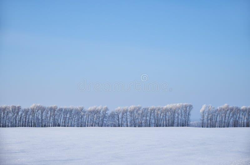 在树冰下的桦树在雪原在冬天晒干 库存照片