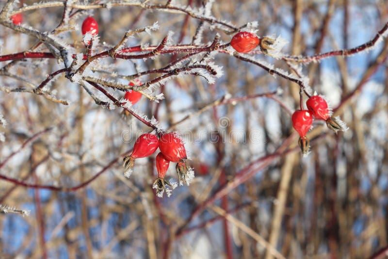 在树冰的浆果 免版税图库摄影