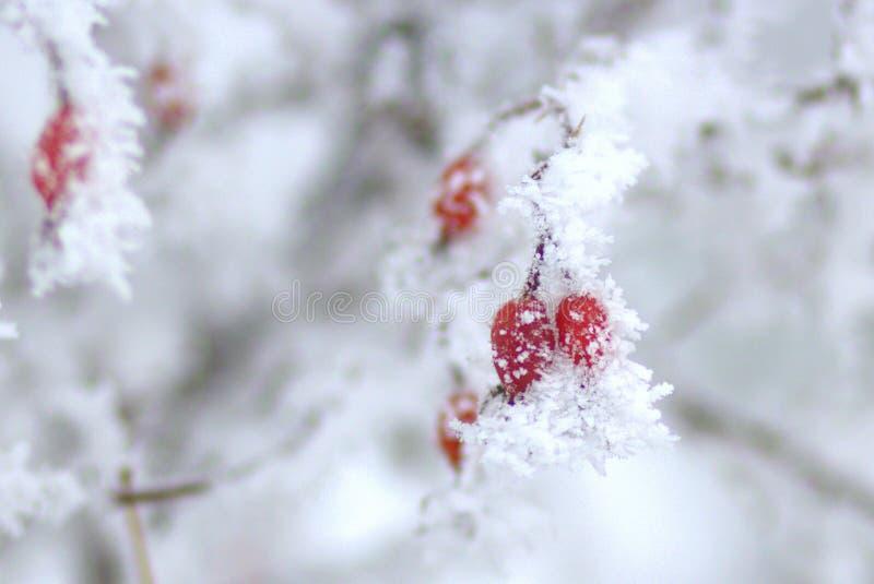 在树冰的Dogrose 库存照片