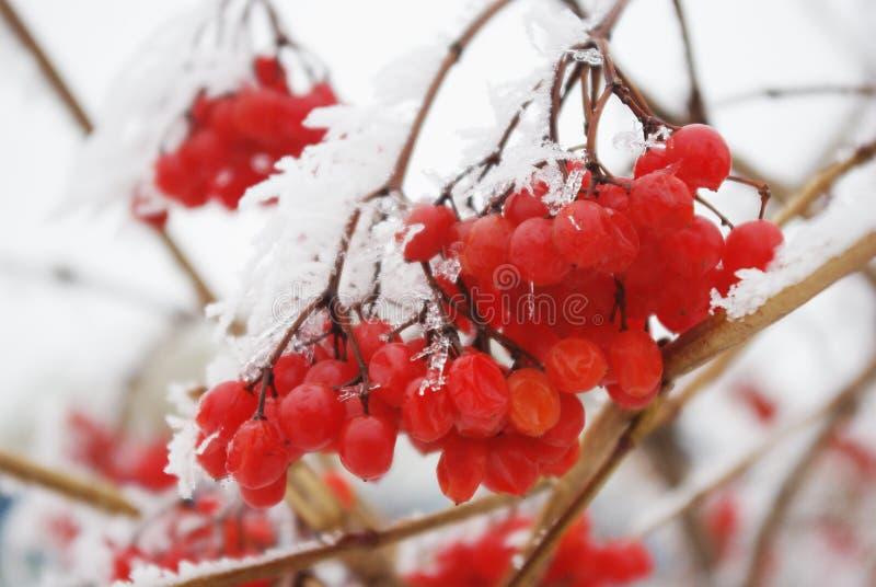 在树冰红色莓果下的荚莲属的植物群在冬天 库存图片