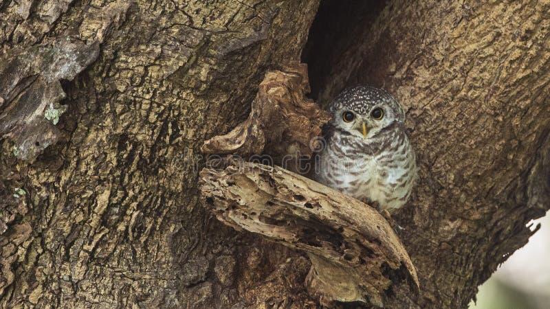 在树凹陷的被察觉的猫头鹰之子 免版税库存图片