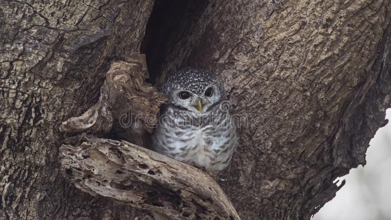 在树凹陷的被察觉的猫头鹰之子 免版税库存照片