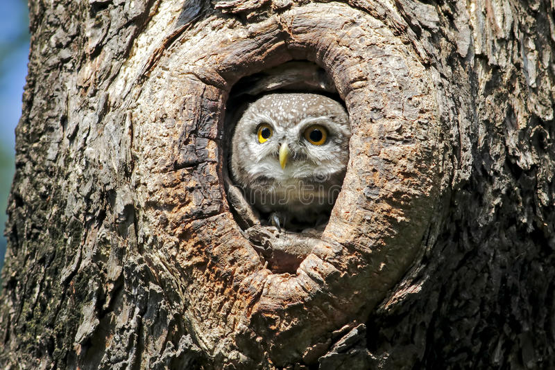 在树凹陷的被察觉的猫头鹰之子巢 库存照片