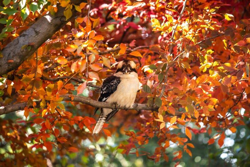 在树分支栖息的澳大利亚当地kookaburra翠鸟鸟在充分的秋天秋天金黄黄色,红色和橙色叶子的 免版税库存图片