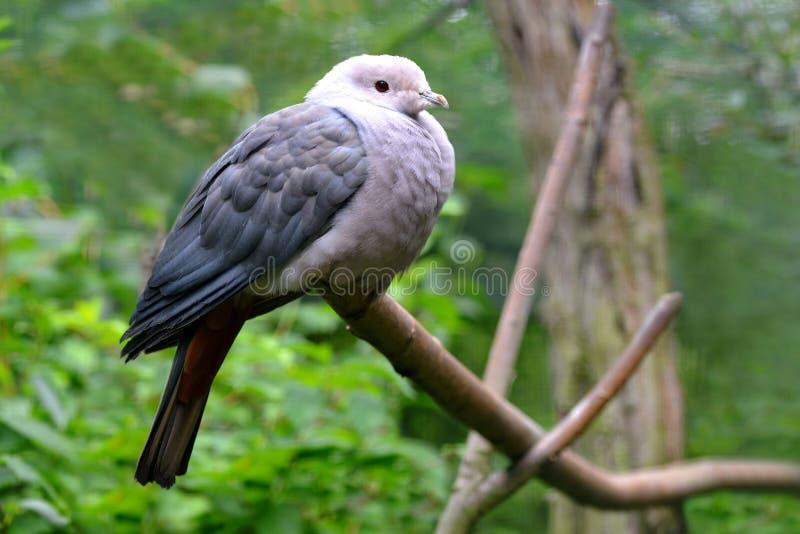 在树分支的桃红色带头的皇家鸽子Ducula rosacea  库存图片