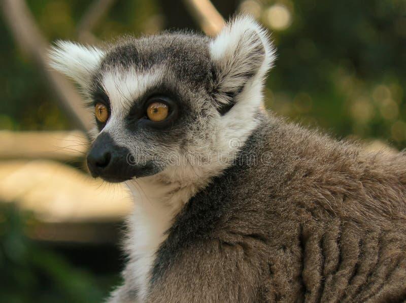 在树分支的环纹尾的狐猴  免版税库存照片